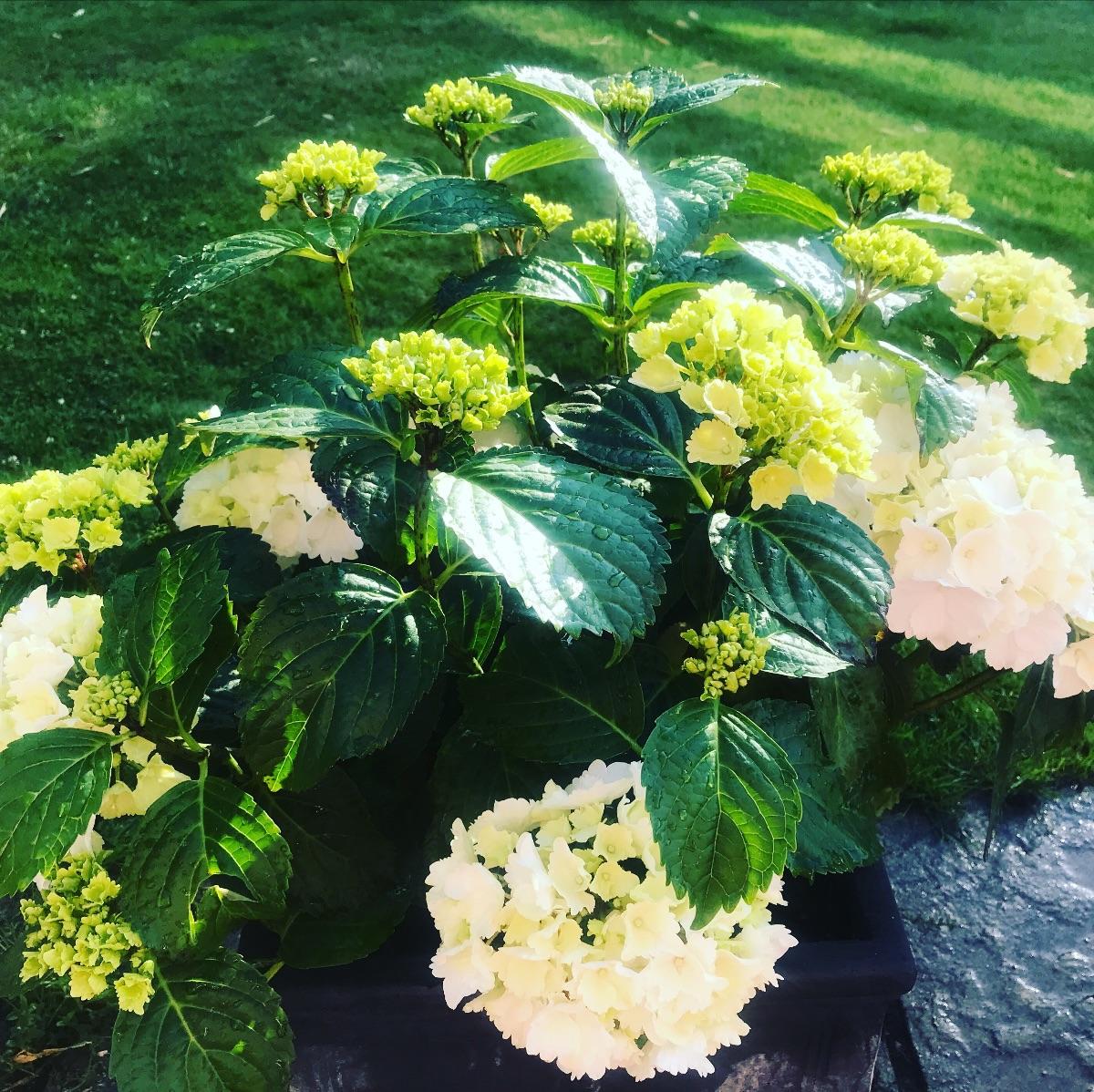 Ed's Gardening Business potted hydrangeas in summer garden